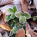 庭の霜  P1000076