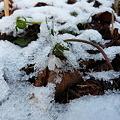 節分草の花に冷たい雪 P1010908