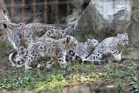多摩動物公園111029-ユキヒョウの子供達 追いかけっこ-01