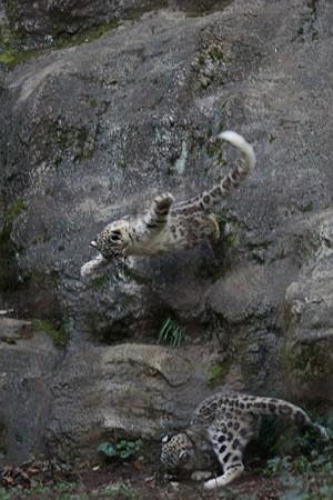 多摩動物公園111029-ユキヒョウの子供達 ムササビジャンプ1-01