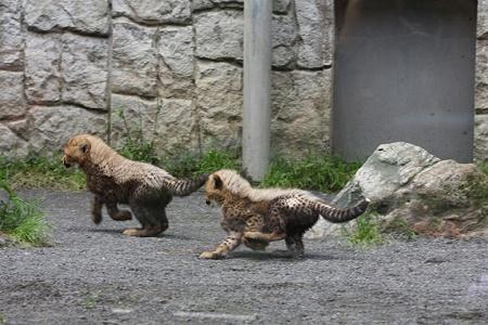 多摩動物公園110603-チーターの赤ちゃん-11