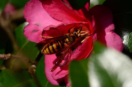 スズメバチ科 キイロスズメバチ♂