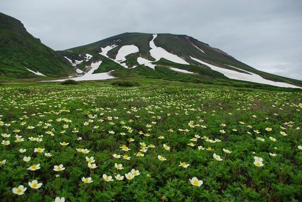 大雪山 裾合平 チングルマのお花畑