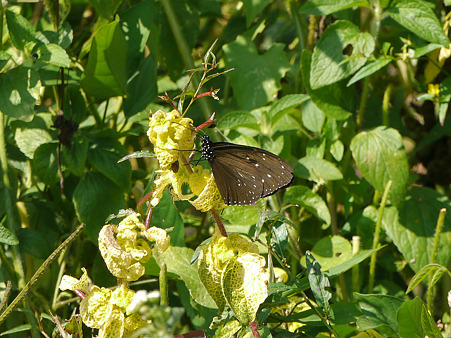 初めて見る青い美しい蝶 P1110510_R