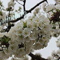 Photos: サクランボの花