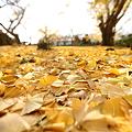 写真: 『黄金の地。。。』
