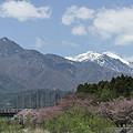 列車と桜とアルプスと。(2)
