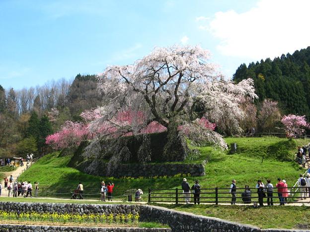 満開の又兵衛桜