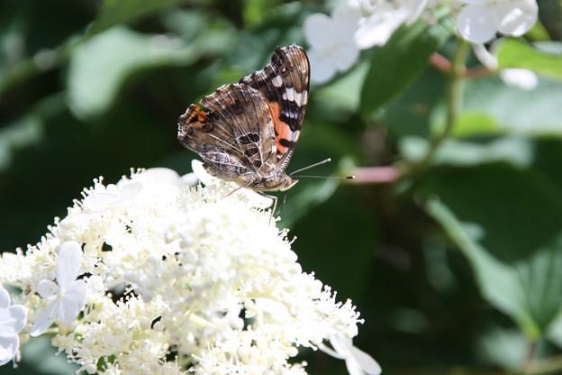 白いガクアジサイに蝶