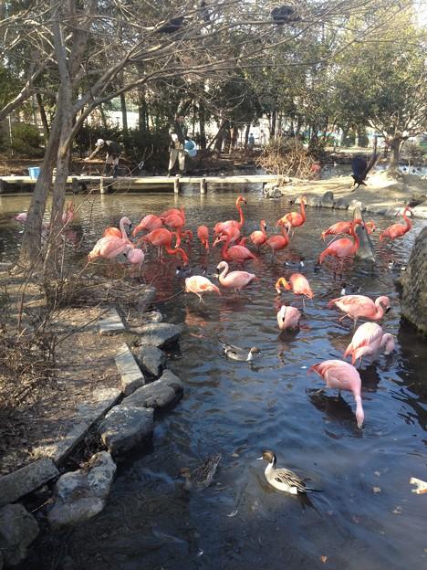東山動植物園_52:ベニイロフラミンゴとチリーフラミンゴ