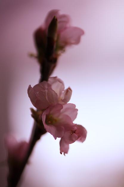 冬に咲くさくら~啓翁桜(けいおうさくら)1
