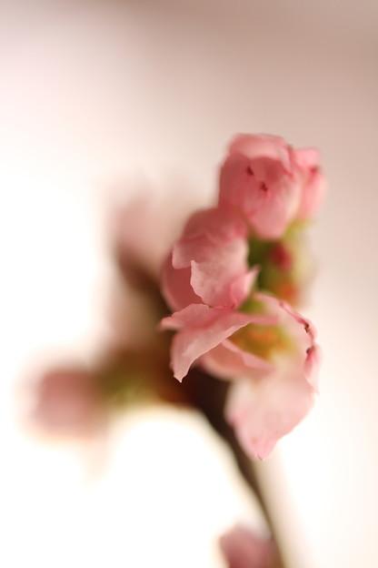 冬に咲くさくら~啓翁桜(けいおうさくら)2
