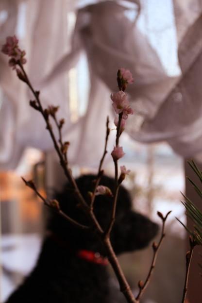 冬に咲くさくら~啓翁桜(けいおうさくら)3