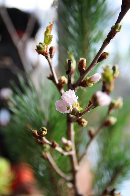 冬に咲くさくら~啓翁桜(けいおうさくら)4