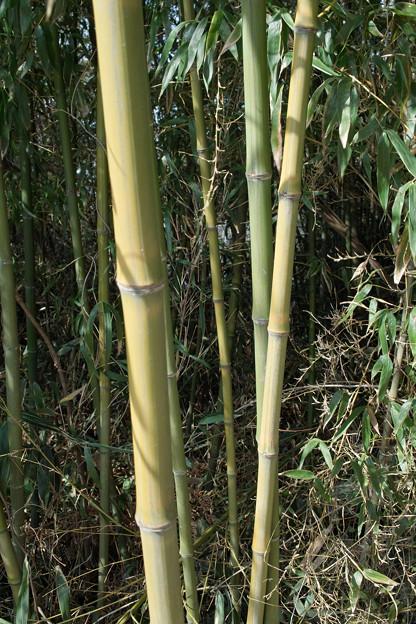 Photos: Bamboo02222012dp2-03