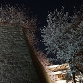 写真: 松山城の石垣と夜桜