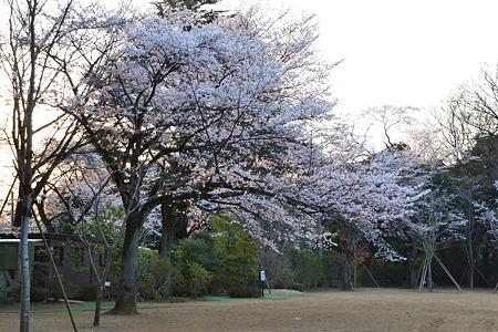 大きな桜の木@清水公園[4/8]