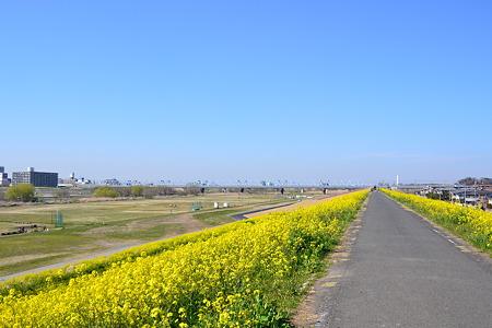 春の便り(菜の花)@江戸川河川敷