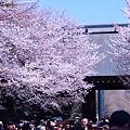 写真: 靖国神社・神門の桜