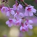 2011/3/17 「おかめ桜」