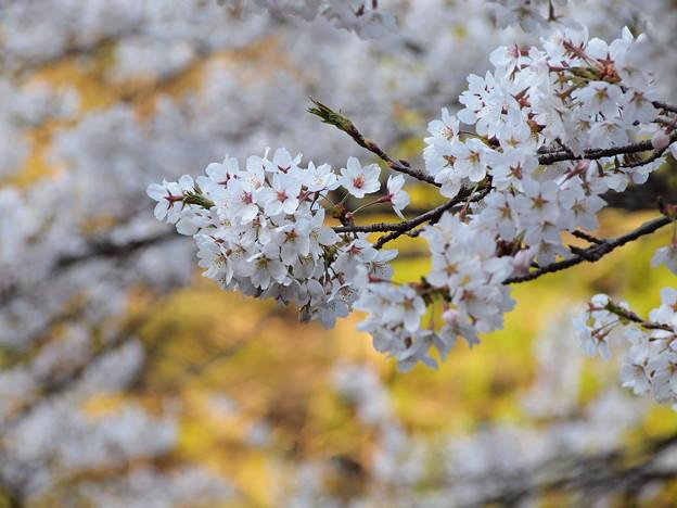 P4160323 中山七里の桜その28