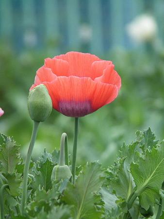 24薬用植物園芥子
