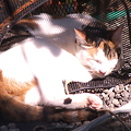 Photos: カゴの猫