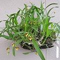 Photos: Epidendrum lividum