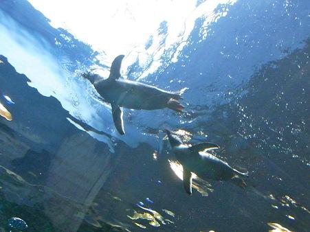 20110815 海響館 亜南極水槽12