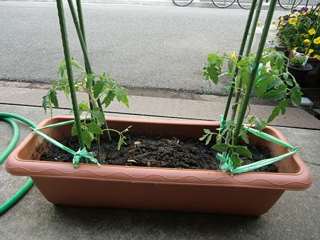 トマトの苗4月30日
