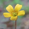 写真: カタバミの花
