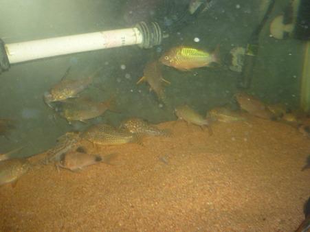 20120407 60cmコリドラス水槽の掃除中