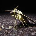 写真: エゾシモフリスズメ