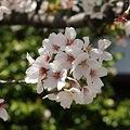 Photos: 稲毛神社の桜7