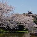 桜満開~横浜三溪園