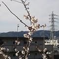 写真: 20110305_ume2
