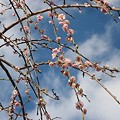 写真: 20110327_sakura