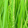 写真: 今年の稲の実りは?