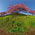 2012年3月6日 南伊豆町 「みなみ桜」 360度パノラマ写真(1)