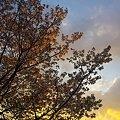 2012年4月7日 駿府城公園 夕昏時の桜