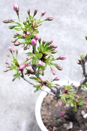 鉢植えの桜、もうすぐ開花!