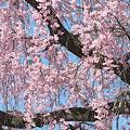 写真: 桜の滝