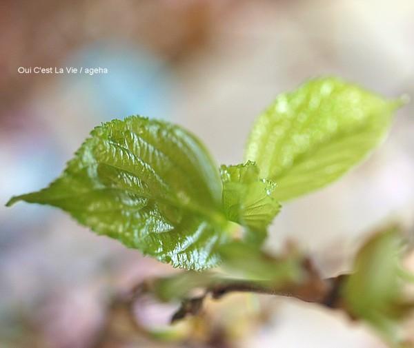 啓翁桜は葉桜に。自然界と同じ現象が起きる。