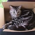 Photos: その箱ちーさいと思うよ。(アメショ生後1歳1ヶ月)