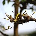 写真: 山茱萸
