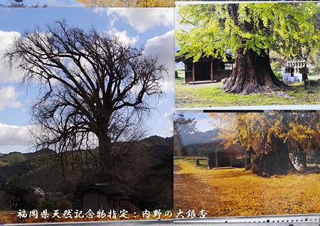 福岡県天然記念物指定:内野の大銀杏