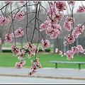 Photos: The Curtain of Cherries