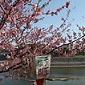 河津桜が咲きました