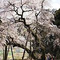 奥山田枝垂れ桜2