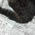 Photos: 新聞読むと 猫が邪魔する朝